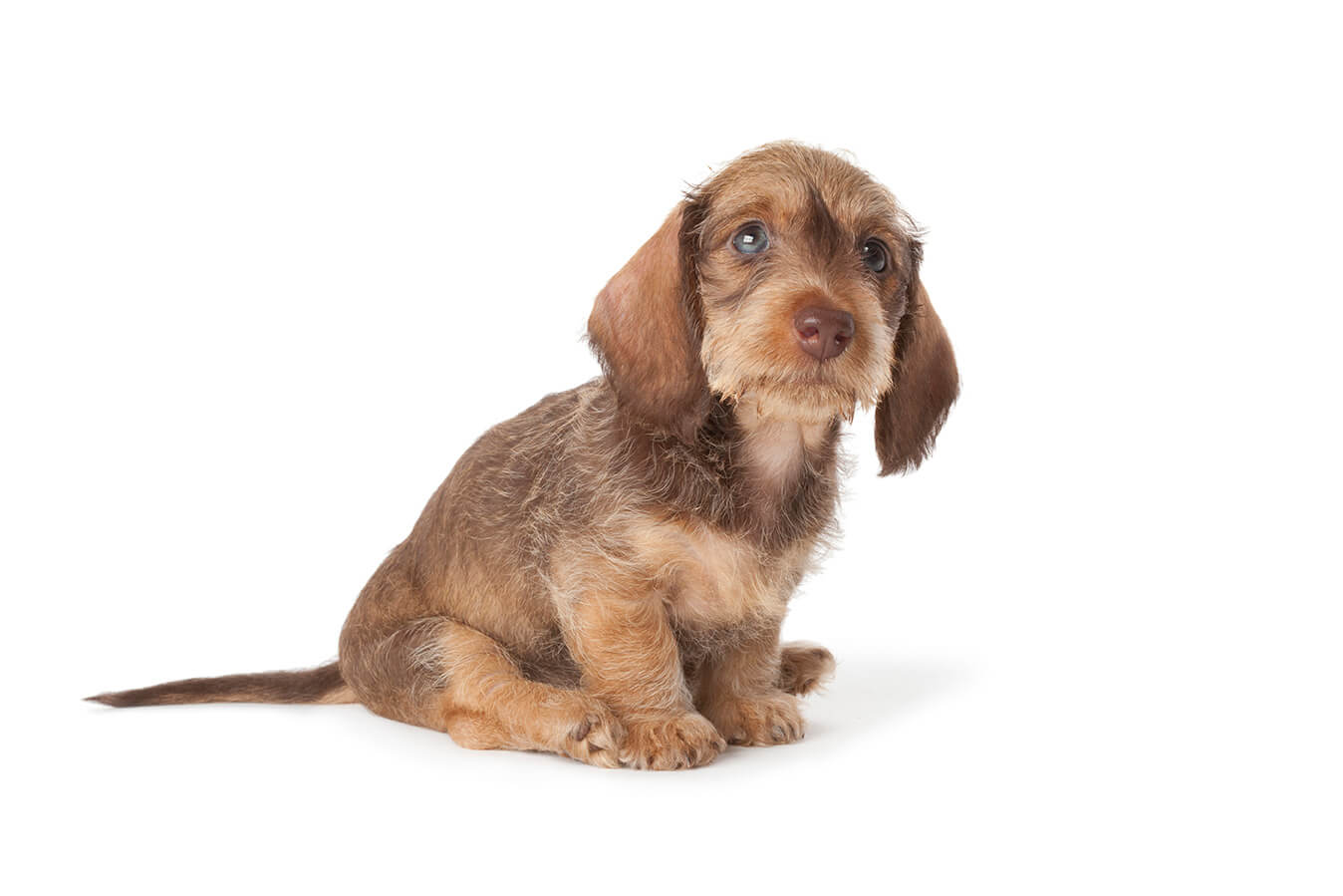 Cute Wire Haired Dachshund Puppy Picture ... 0265