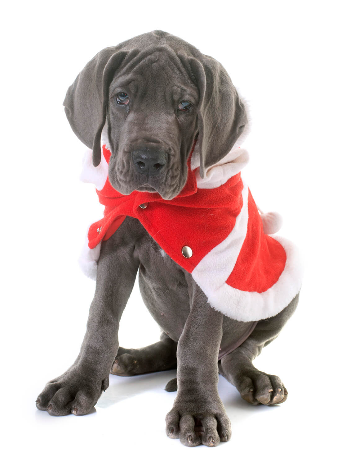 Dressed Puppy Great Dane Puppy Picture 0124