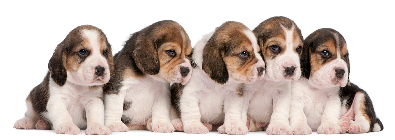 Group Of Beagle Puppies 4 Weeks Old Sitting Puppy Picture 0093